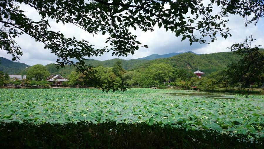 古都・京都市の旧嵯峨御所 大本山 大覚寺 大沢池 に群生する蓮(ハス)・・・月明りの下なら、さらなる風情か